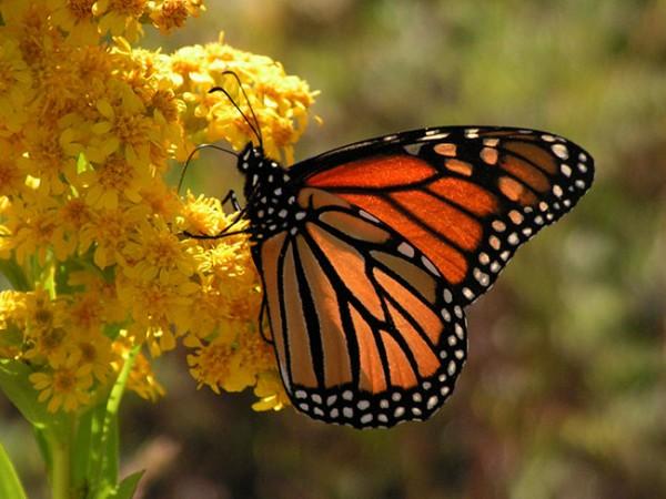 mariposa-monarca-600x450